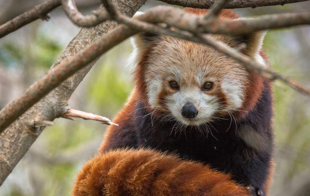 red panda zou newquay zoo