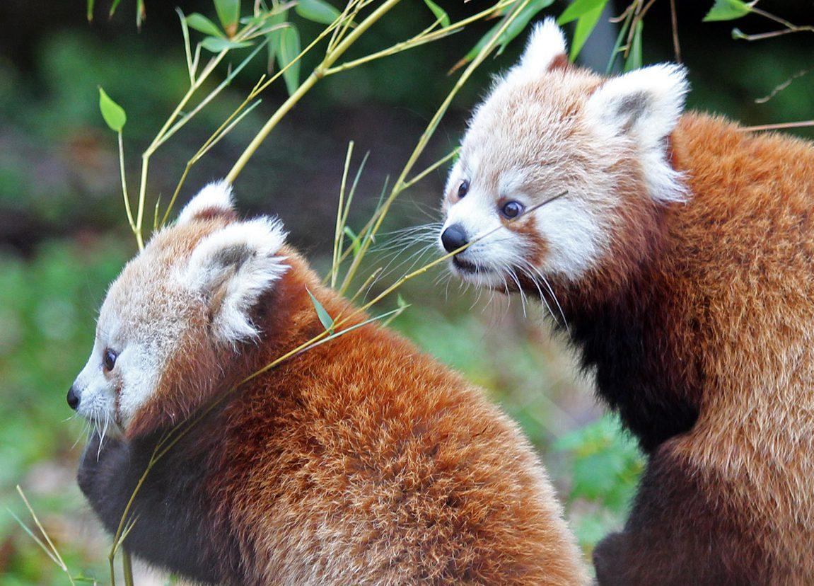 red panda amber autumn