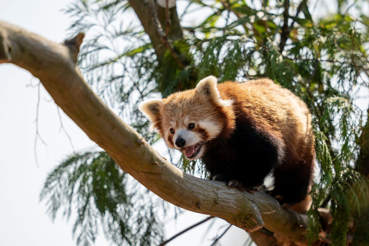 red panda peter marwell zoo