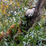Besuch im Gehege der Roten Pandas im Zoo Linz - Oktober 2013 - Foto: Jürgen Breitenbaumer
