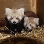 Naoki und Naomi. Foto: Zoo Linz
