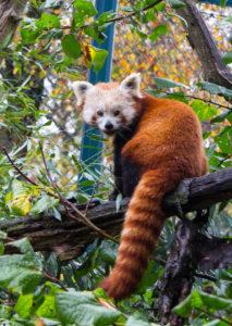 Zahlen und Fakten zum Roten Panda
