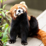 Rote Pandas im Roger Williams Park Zoo. Foto: Eric Kilby