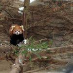 Die neuen Roten Pandas im Lincoln Park Zoo. Foto: Lincoln Park Zoo / Jill Dignan