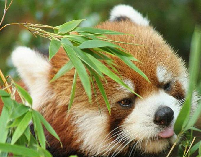 Im Waldgebiet von Singhalila ist viel Bambus anzufinden. Ideale Voraussetzungen für Rote Pandas. Foto: Red Panda Network