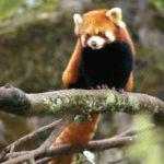 Patenpanda Sita. Foto: Red Panda Network