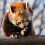 Die Roten Pandas im Tierpark Hellabrunn: Miu und Yang. Foto: Jürgen Breitenbaumer - 500px.com/juergenbr