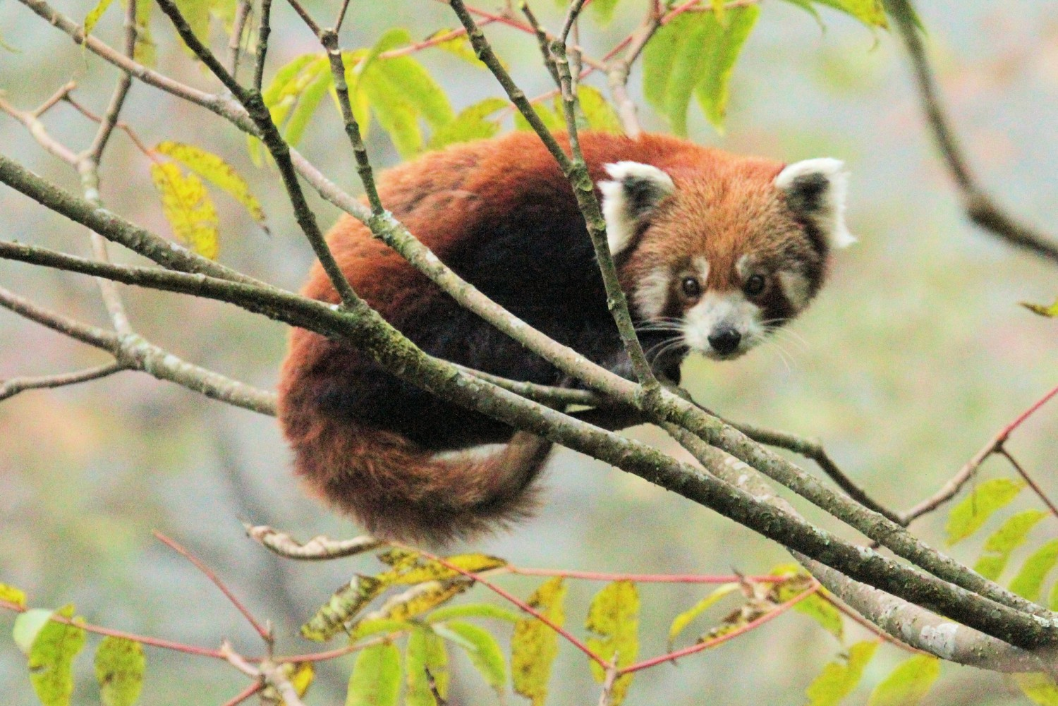 """""""Red Panda at Dobate"""": https://flic.kr/p/q62s5G von Michael Bamford.: https://www.flickr.com/photos/mfmb_bentley/, CC BY-NC-ND 2.0: https://creativecommons.org/licenses/by-nc-nd/2.0/"""