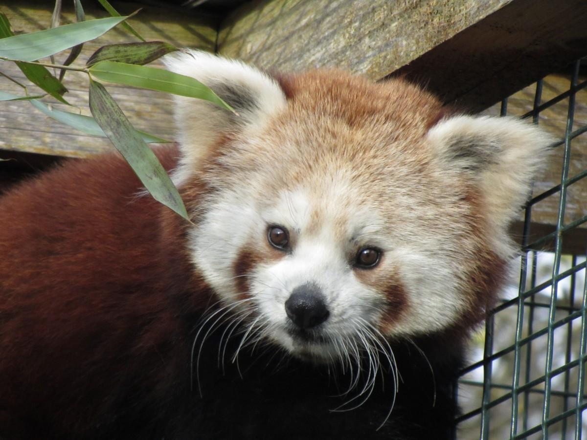 Tao Tao im Tierpark Irgenöd. Foto: Vogel- und Tierpark Irgenöd.