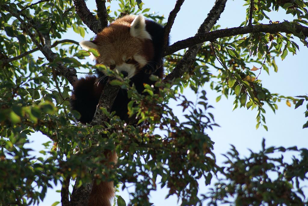 """Ein Roter Panda im Adelaide Zoo,. Archivbild aus dem Jahr 2011. """"Red Panda 2"""": https://flic.kr/p/9MJah4 von Michelle Bartsch: https://www.flickr.com/photos/maigraith242/, CC BY NC ND 2.0: https://creativecommons.org/licenses/by-nc-nd/2.0/"""
