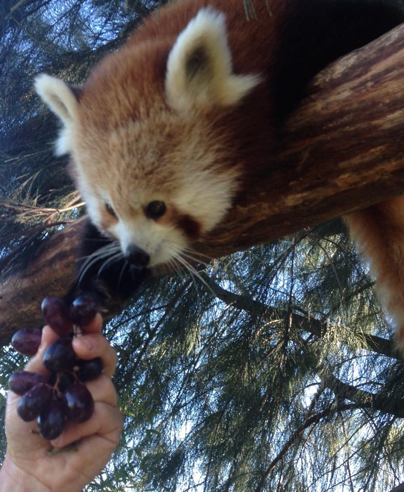 rani tashi altina wildlife park red panda roter panda panda rojo