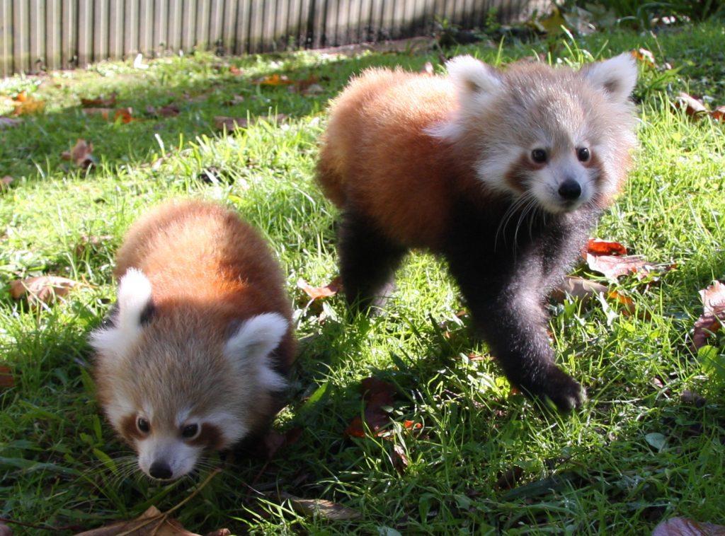 Rote Pandas Nachwuchs Baby Babies Red Panda Hamilton Zoo