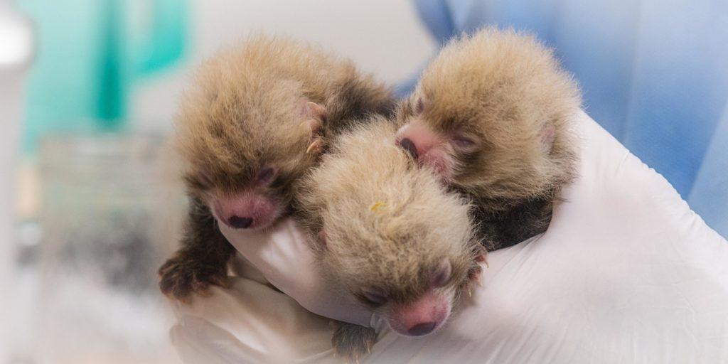 Rote Panda Babies