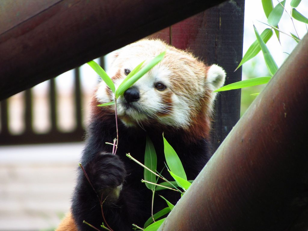 Roter Panda Darmflora