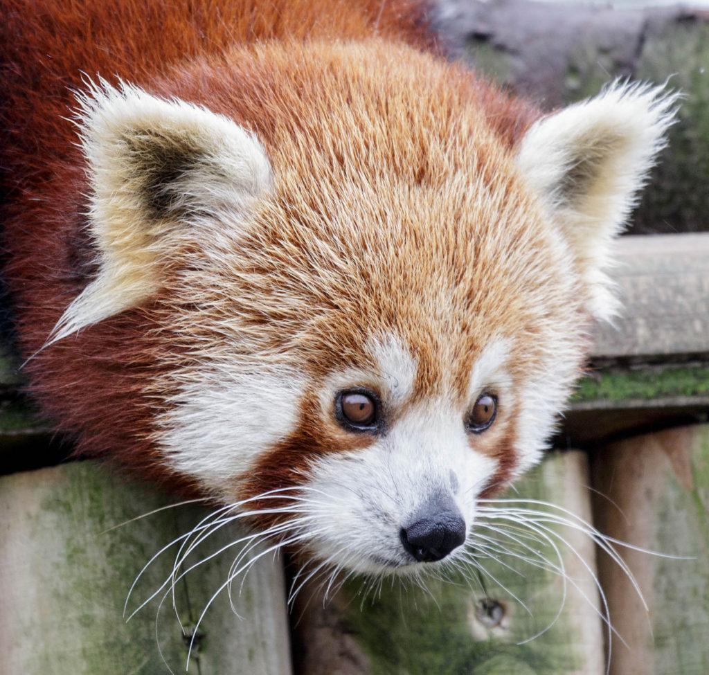 red panda wingham wildlife park