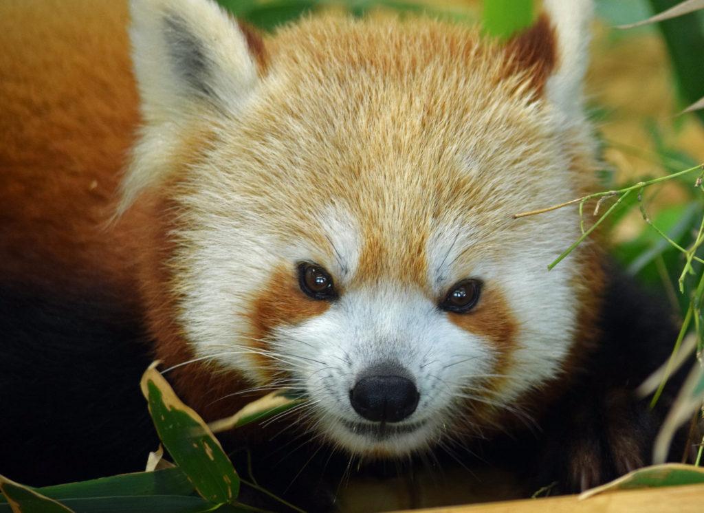 """Red Panda Lunch"": https://flic.kr/p/uiG5PN von John: https://www.flickr.com/photos/mtsofan/, CC BY-NC-SA 2.0 https://creativecommons.org/licenses/by-nc-sa/2.0/"