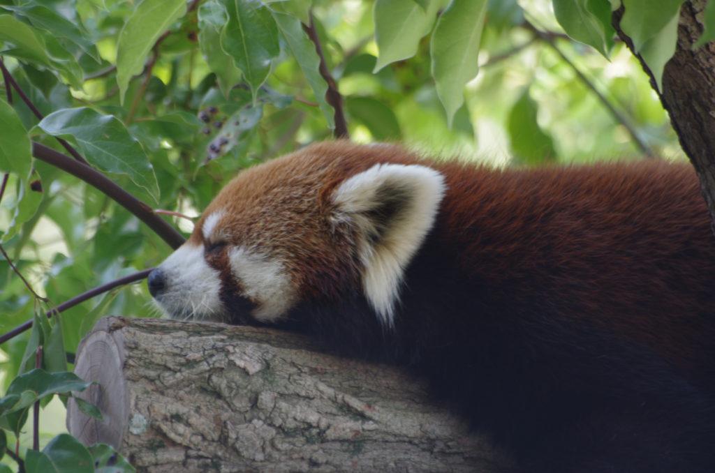 Pandababys Roter Panda Kobe Oji Zoo