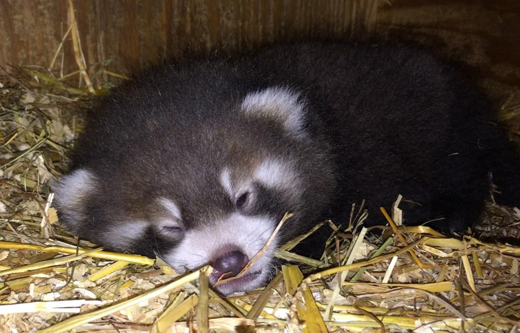 Dr. Erin Curry Roter Panda Pandababy