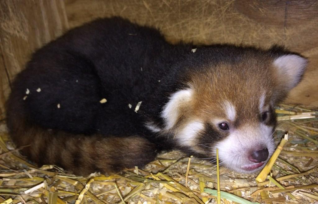 Kelli Red Panda Roter Panda Cincinnati Zoo