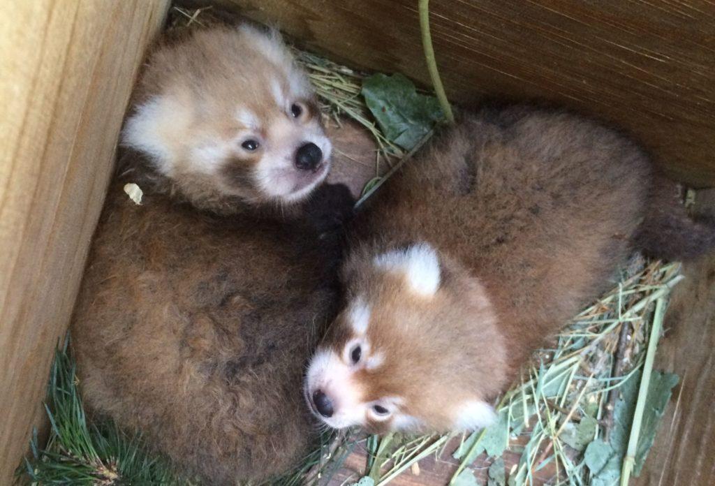 Rote Pandababys im Tiergarten Nürnberg