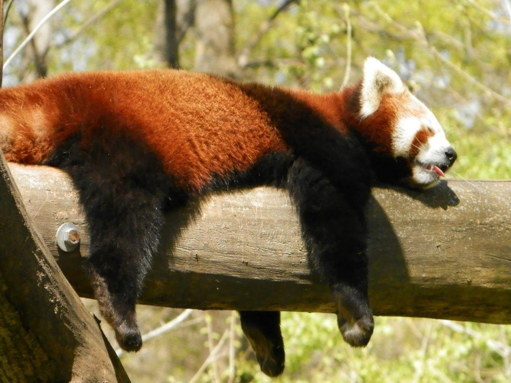 Rote Pandas Verhalten Zoo
