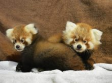 Red Panda Cubs Rosamond Gifford Zoo