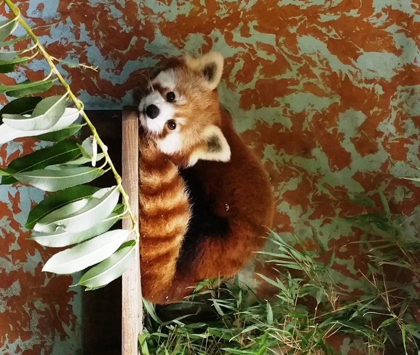 Roter Panda Polly Zoo Schwerin