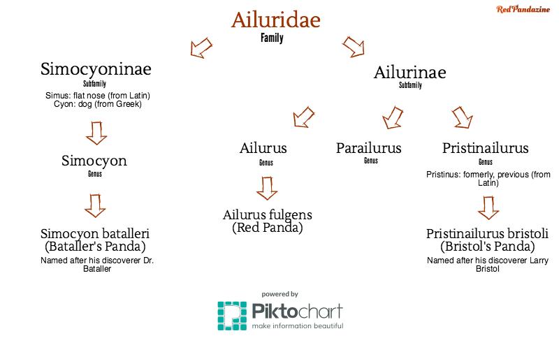 Ailuridae Infographic