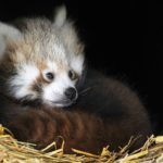 Red Panda Cubs Bert Ernie Whipsnade Zoo Photo: ZSL