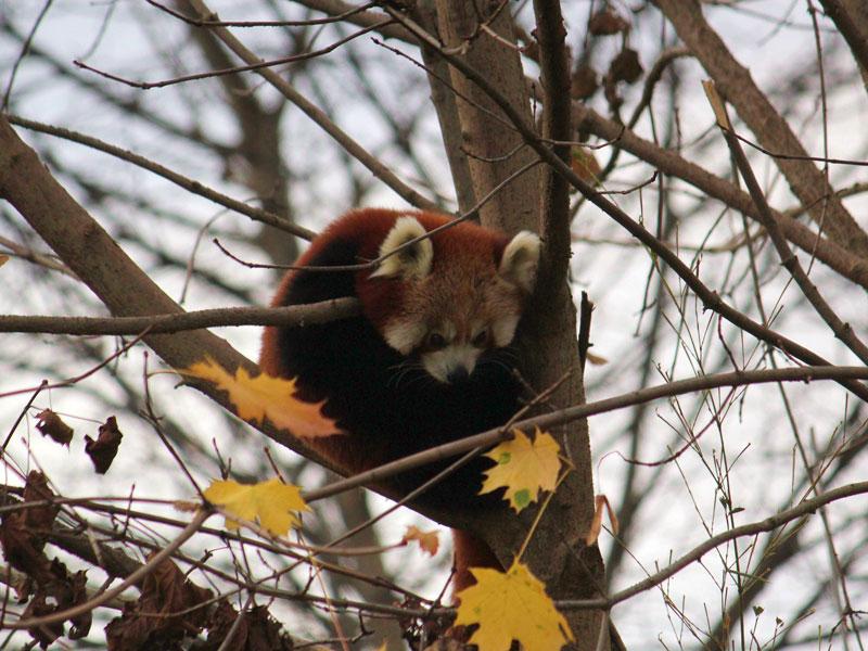 Roter Panda Tierwelt Herberstein