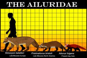 Ailuridae Aaron Woodruff
