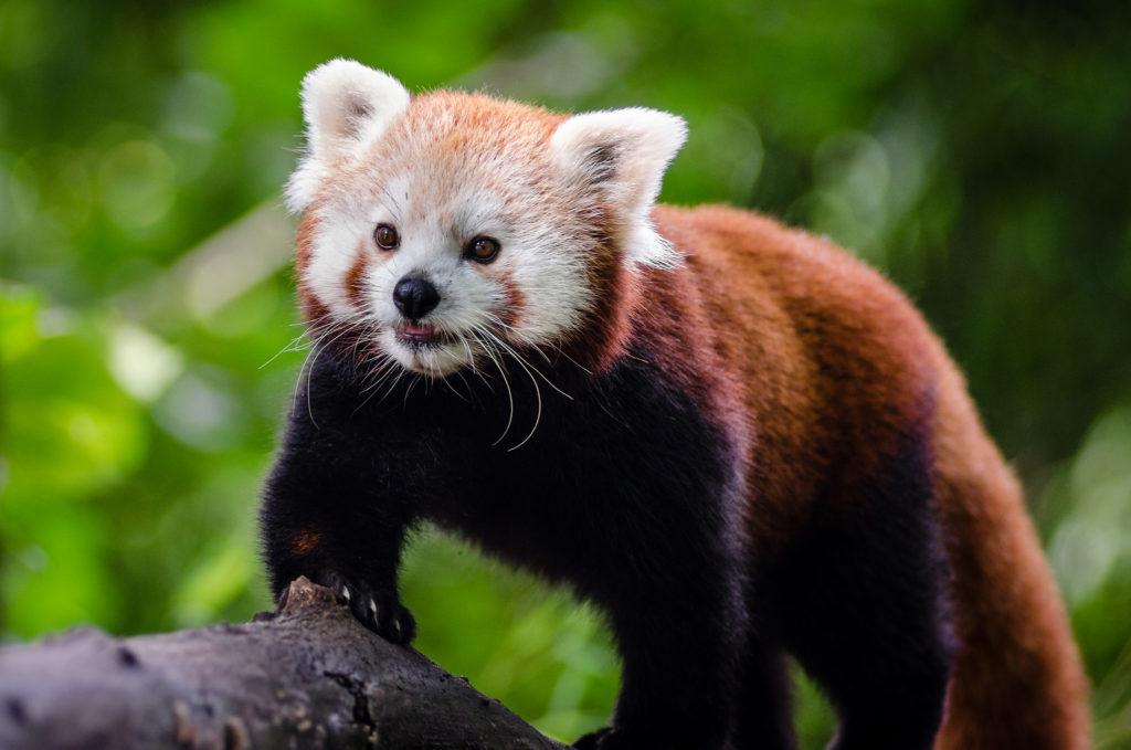 Roter Panda Mathias Appel