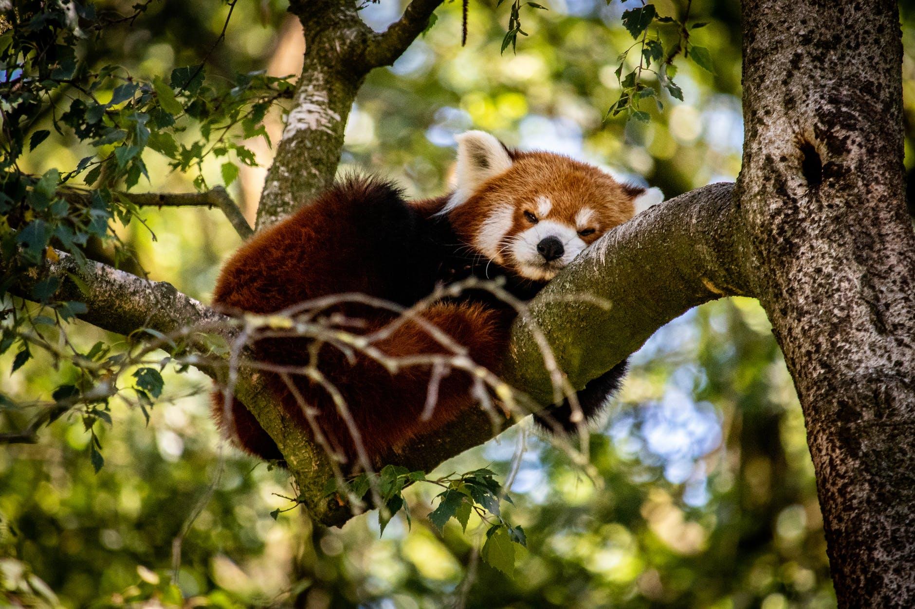 Roter Panda kauert auf einem Baum