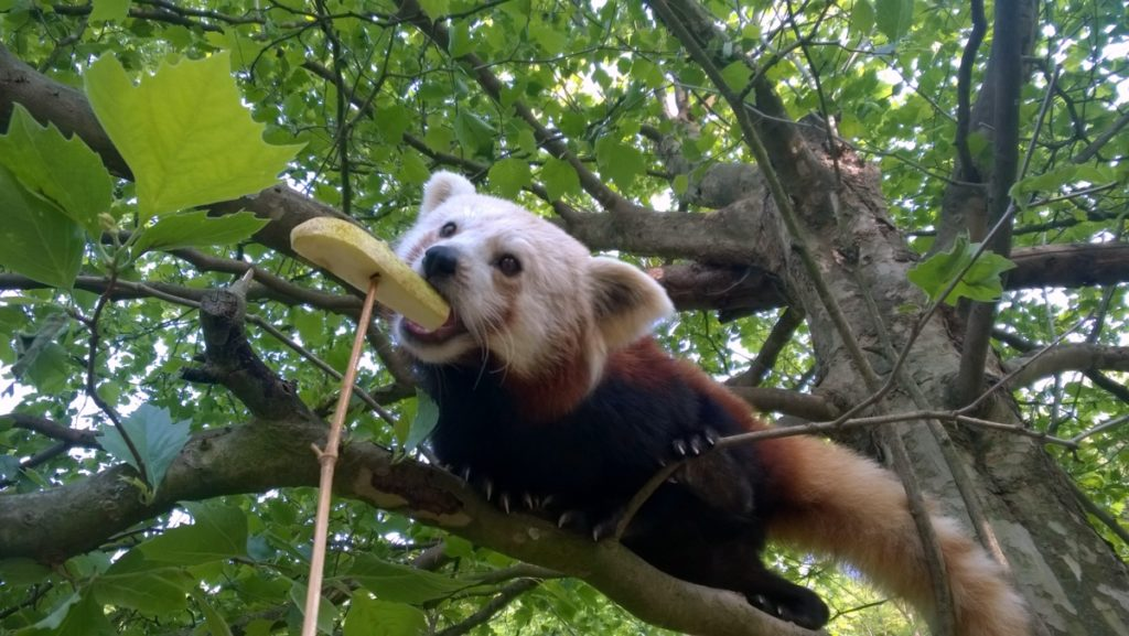 Rote Pandas Medical Training Zoo Neuwied Foto: Max Birkendorf