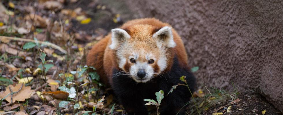 red panda zoo plzeň jürgen breitenbaumer