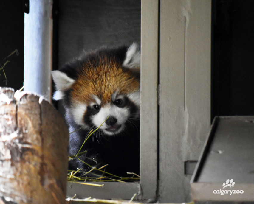 Red Panda Cub Calgary Justine Brenneis, Calgary Zoo