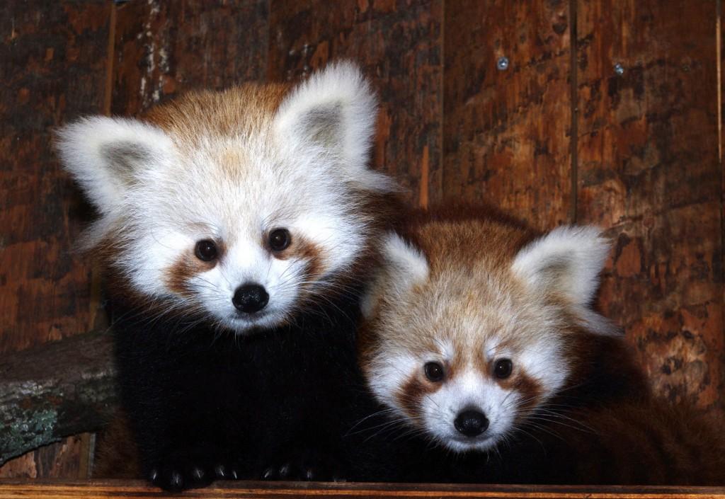 Rote Pandas Katzenbären Tiergarten Nürnberg