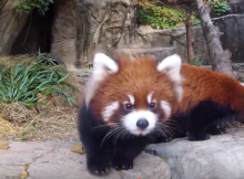 red panda lincoln park zoo debut