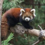 Red Panda Prospect Park Zoo Photo Julie Larsen Maher © WCS