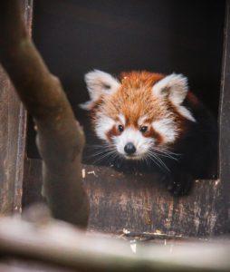 Rote Pandas Foto Welsh Mountain Zoo