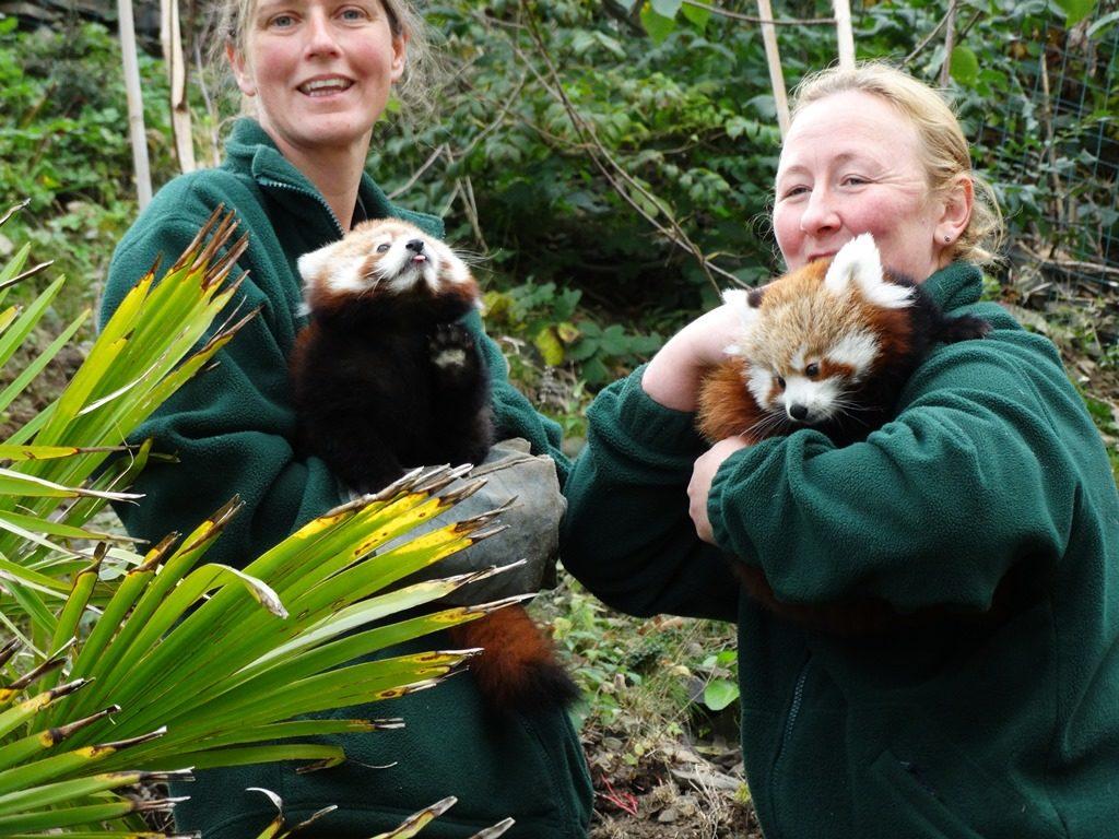 Red Panda Cub Welsh Mountain Zoo