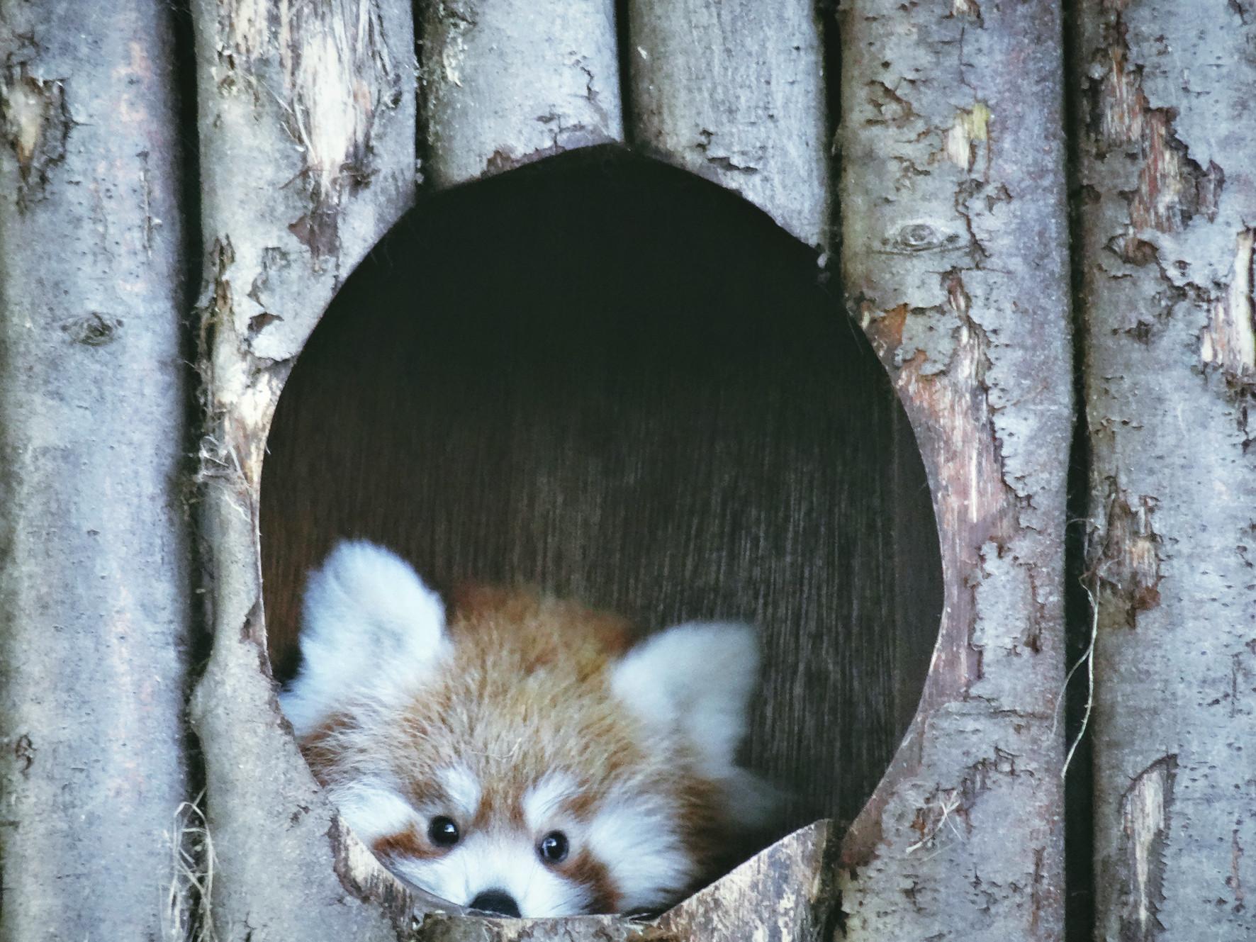Red Panda Shyla Photo Drusillas Park