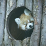 Red Panda Shyla Photo Drusillas Park
