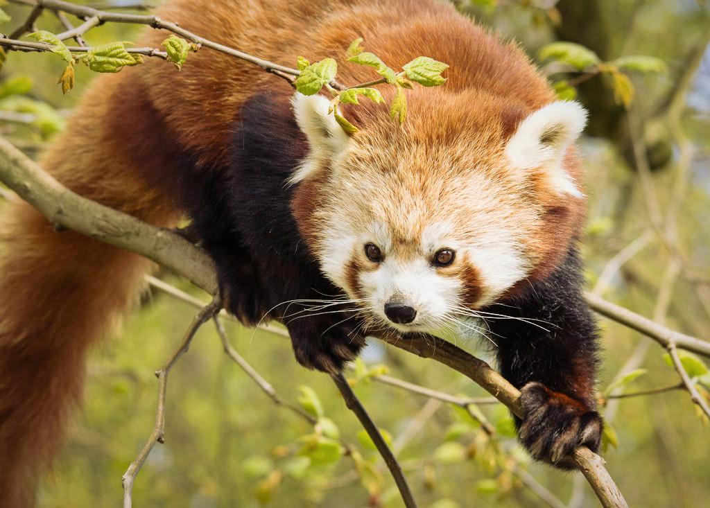 Roter Panda Rotterdam entwischt