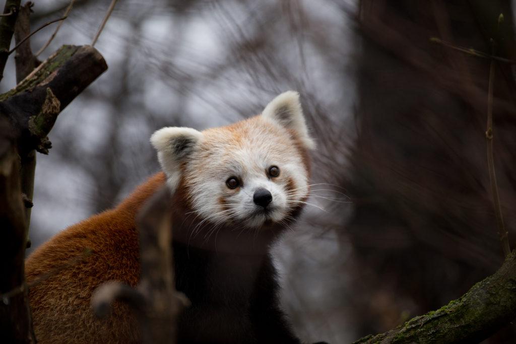 Roter Panda Katzenbär Romeo Tierpark Berlin
