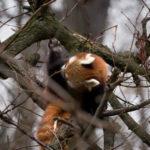 Roter Panda Katzenbär Tabea Tierpark Berlin
