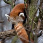 Roter Panda Katzenbär RomeoTierpark Berlin