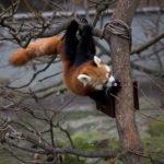 Roter Panda Katzenbär Tierpark Berlin