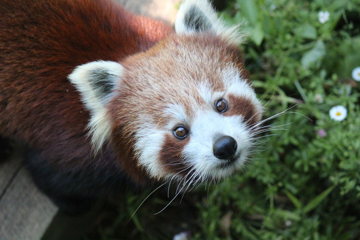Red Panda Sundar Photo Wellington Zoo