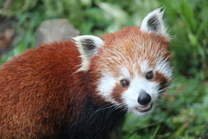 Red Panda Sundar Foto Wellington Zoo